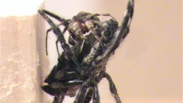 Giant Female Spiders Force Males To Perform Oral Sex-Scientists