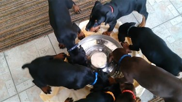 Hypnotic Video Shows Puppies Eating Their Dinner