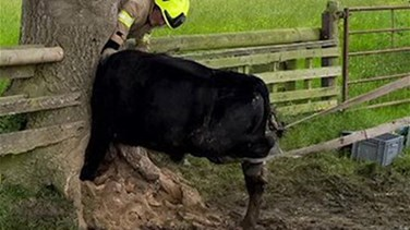 [PHOTOS] Clumsy Cow Rescued After Getting Head Stuck Inside Tree