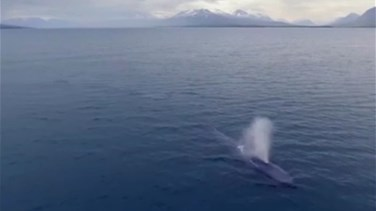 Caught On Camera: Blue Whale Spotted Off Iceland Coast