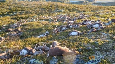 Freak Lightning Storm Kills 323 Reindeer In Norway