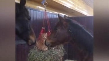 Lebanon News - [VIDEO] Cats Become Friends With Horses After Playing In Their Hay Net