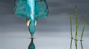 Lebanon News - Photographer Captures Stunning Image Of Kingfisher Flawlessly Diving Into A River