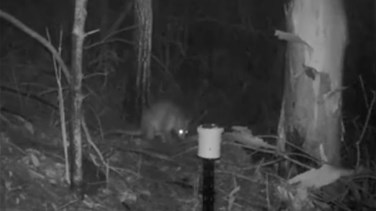 Lebanon News - Mysterious 'Half Cat-Half Kangaroo' Caught On Camera