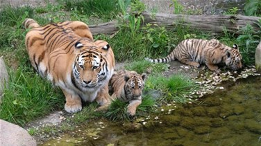 Lebanon News - Zookeeper Killed By Tiger At English Zoo - BBC