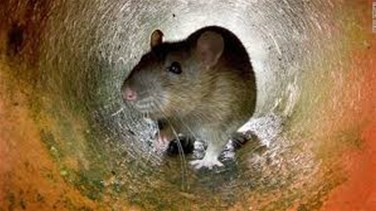 Lebanon News - New York City declares war on rats with $32 million plan