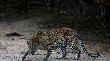 Lebanon News - Sri Lankan court remands villagers in custody over beating to death of leopard