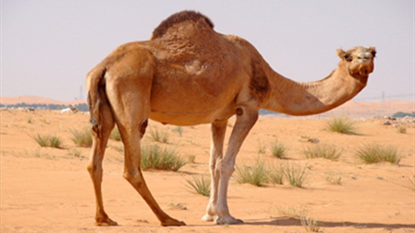 Mali to give France new camel after first one is eaten
