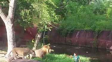 [VIDEO] Shocking Moment 'Drunk' Man Jumps Into Lion...