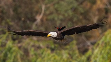 Blackbird Pictured Hitching a Ride on Eagle's Back