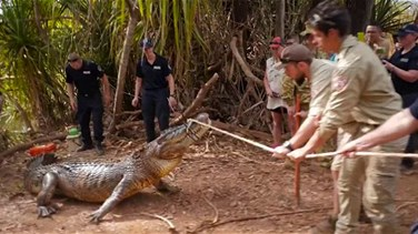 Cow-​Eating ​Croc ​Caught ​In Northern Australia