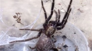 Video Shows Tarantula Crawling out of Its Own Skin