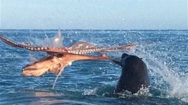 VIDEO – Astonishing Moment Tourists Witness Epic Fight Between Enormous Seal And Octopus