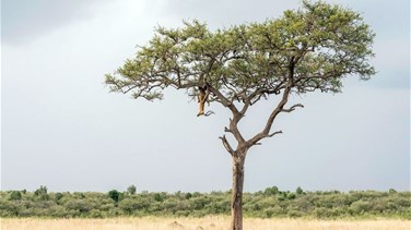 Can You Spot The Perfectly Camouflaged Leopard In This Tree?