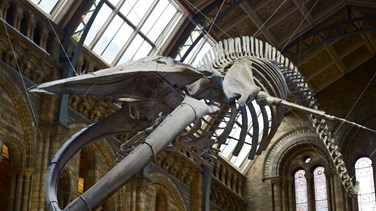 Farewell Dippy The Dinosaur - London Museum Installs Whale Skeleton