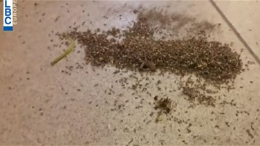 Insects ravage several Northern areas in Lebanon